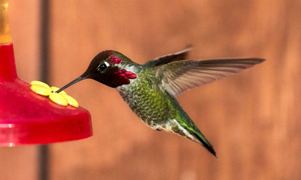 The Secret of Why Hummingbirds Hum